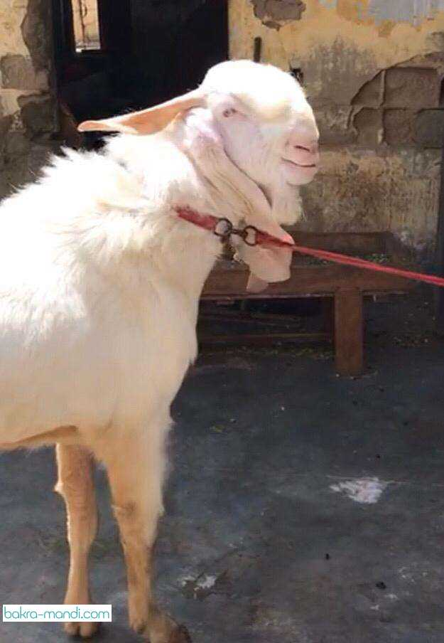 Gulabi Bakra Pure Bakra Goats Tips for buying gulabi pateri goats gulabi goat breed |complete documentary the gulabi pateri goat is native to pakistan, and it's home is the sindh province, naushahro. gulabi bakra pure bakra goats